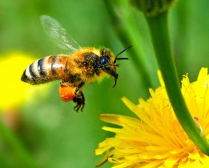 A Honey Bee has a fuzzy body & will carry bags of pollen on its back legs