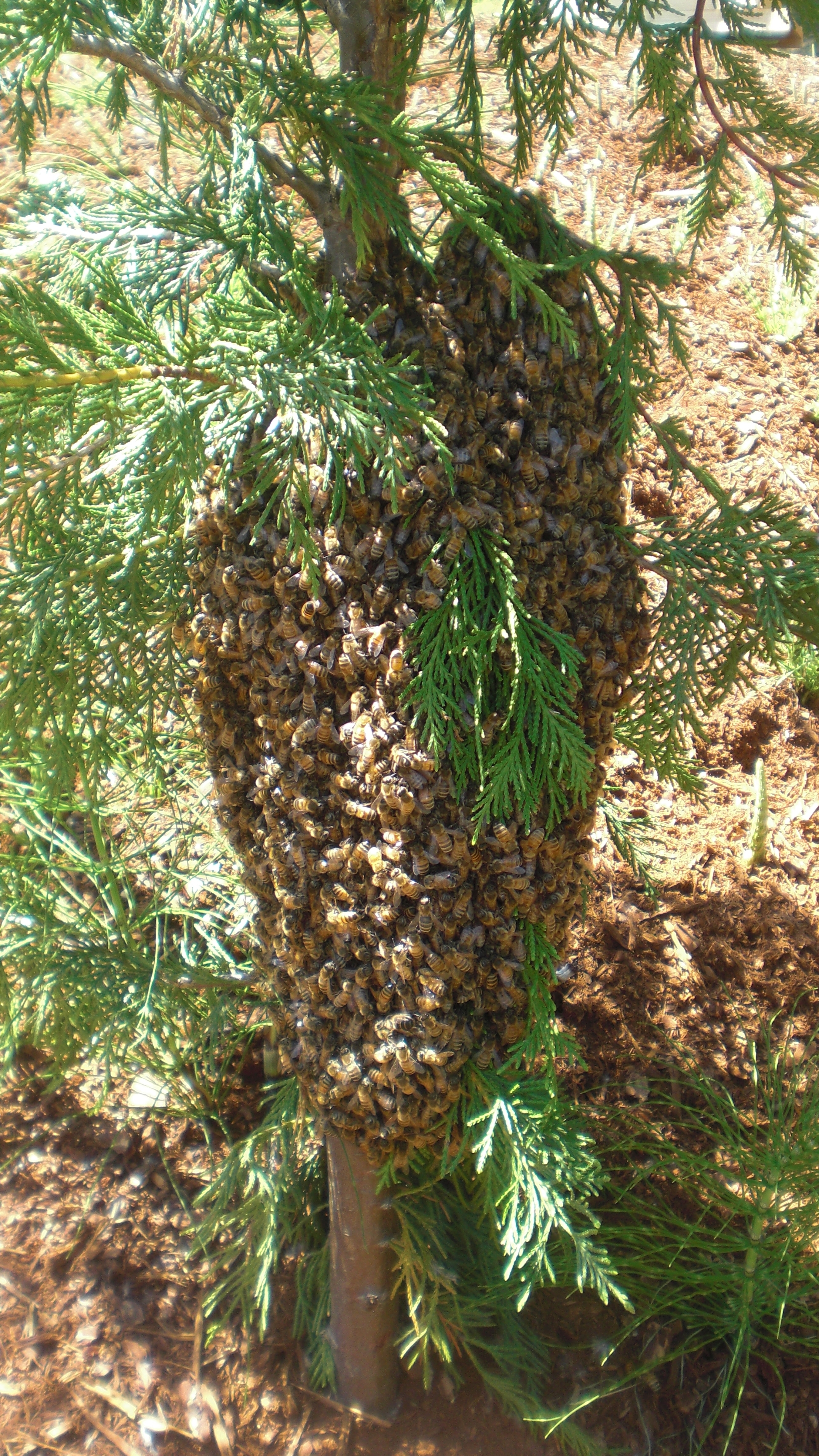 how to catch a swarm of bees on the ground