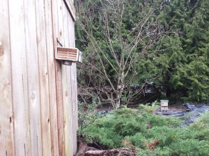 Mason Bees and Honey Bees at backyard host in Renton